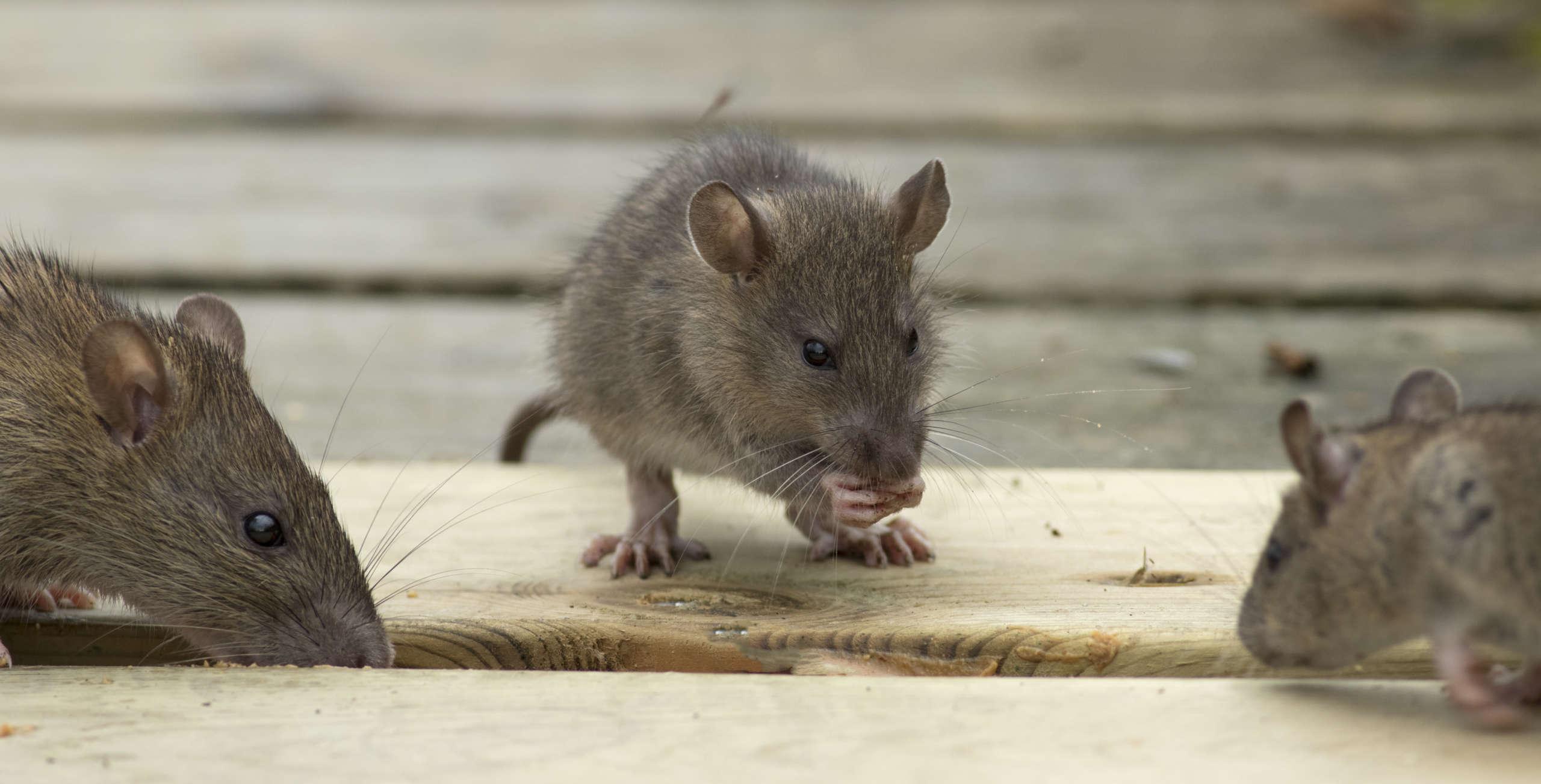 Rat brun Nuisibles du Nord