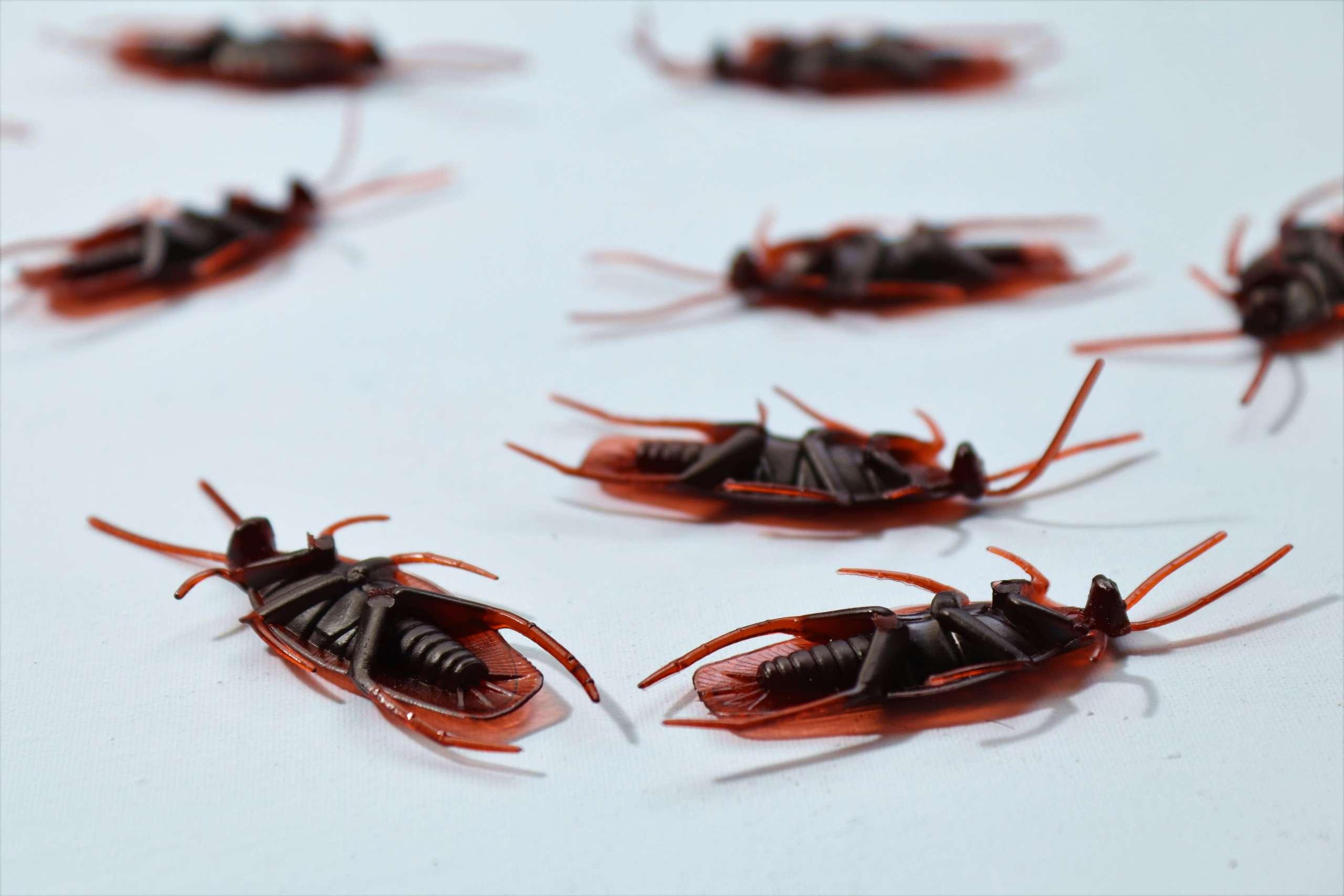 Cafards et blattes Nuisibles du Nord