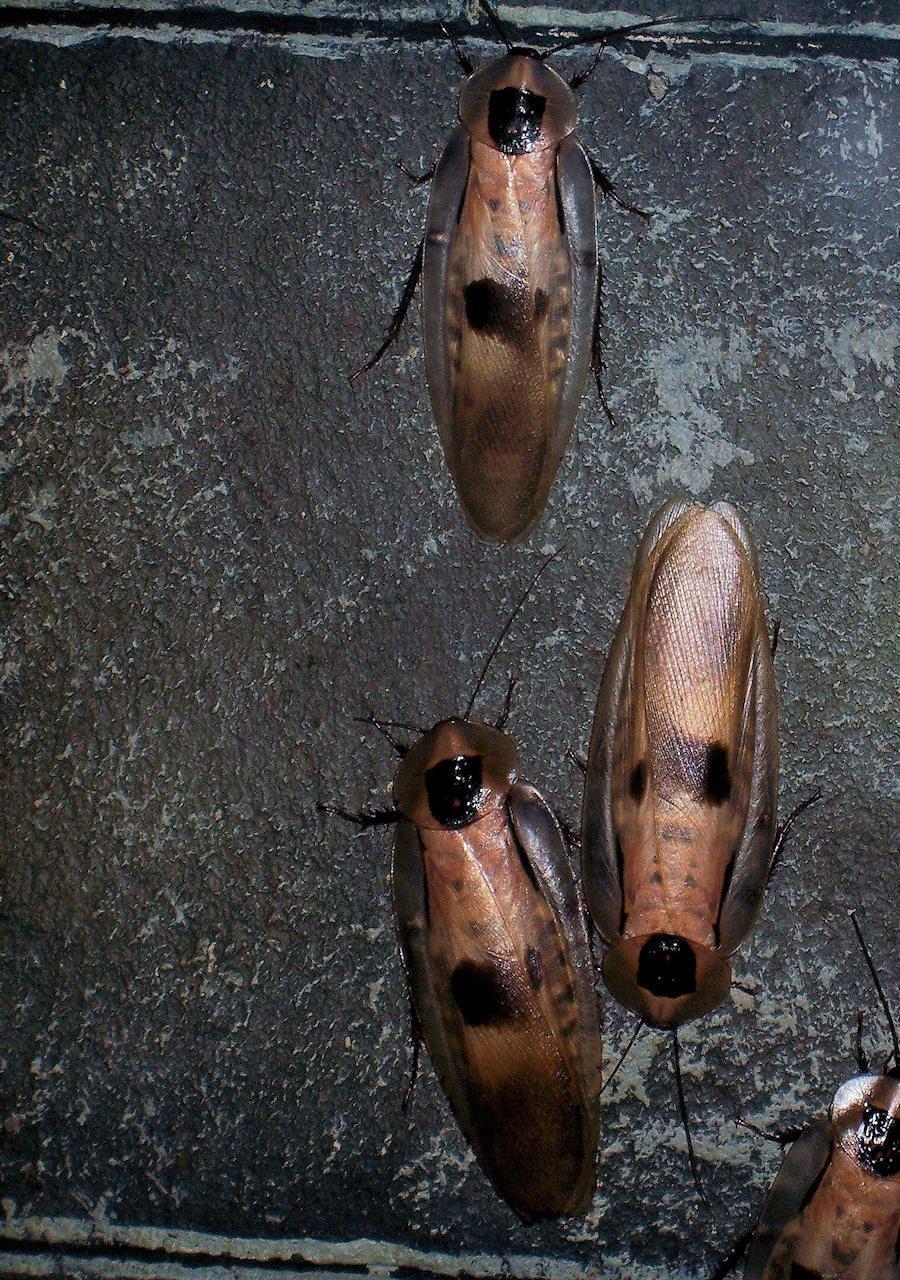 Cafards et blattes cuisine